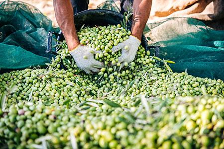 olivenoil-ernte