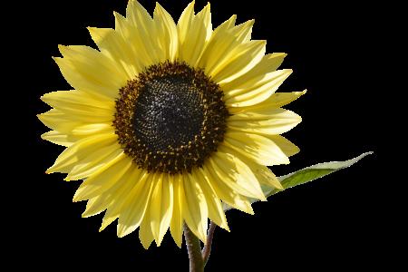 Herstellung von Sonnenblumenöl