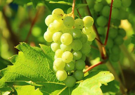Traubenkerne für Traubenkernöl