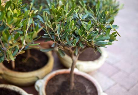 Entwicklung Olivenbaum
