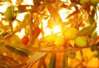 Die goldene Olive für Bertolli