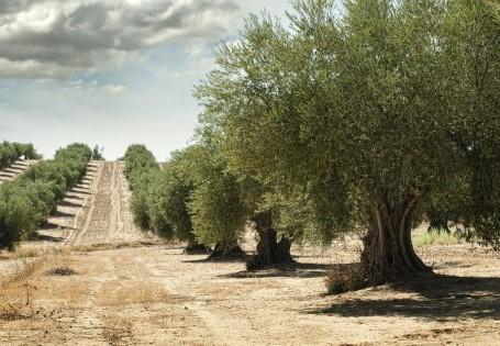 Olivenöl aus Spanien und Italien